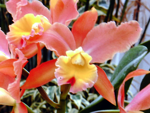 All About Cattleya Orchids And How To Grow Them
